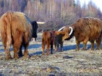 Isabelle and Sheena 2 of our purebred Highland Cows